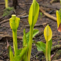 Skunk Cabbage (Lysichiton americanus)