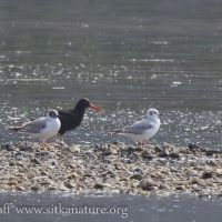 Black Oystercatcher and Bonaparte's Gulls