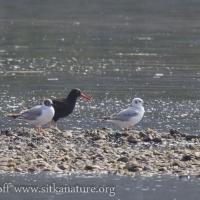 Black Oystercatcher and Bonaparte's Gulls