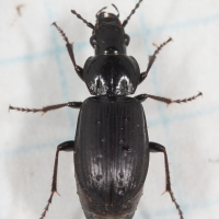 Ground Beetle (?)