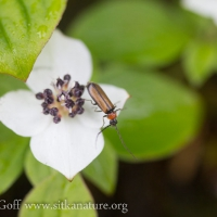 Soldier Beetle (Silis sp) on Ground Dogwood Flower