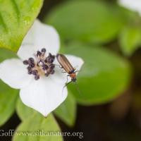 Soldier Beetle (Silis sp) on Ground Dogwood Flower