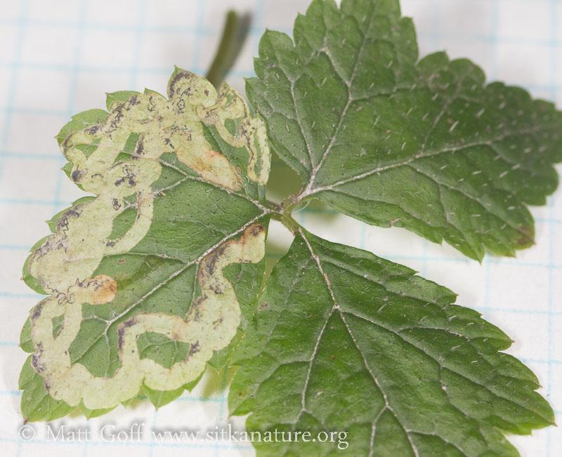 Leaf Mines in Foamflower
