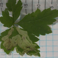 Leaf Mine in Foamflower Leaf