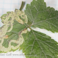 Leaf Mines in Foamflower
