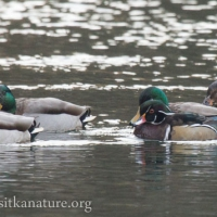Mallards and Wood Duck