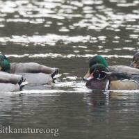 Mallards and Wood Duck