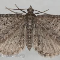 Eupithecia sp