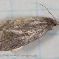 Moth (Tortricidae?)