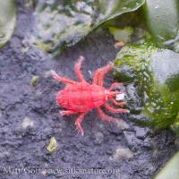 Intertidal Red Snout Mite (<em>Neomolgus littoralis</em>)