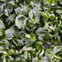 Emerald Carpet (Prasiola sp)
