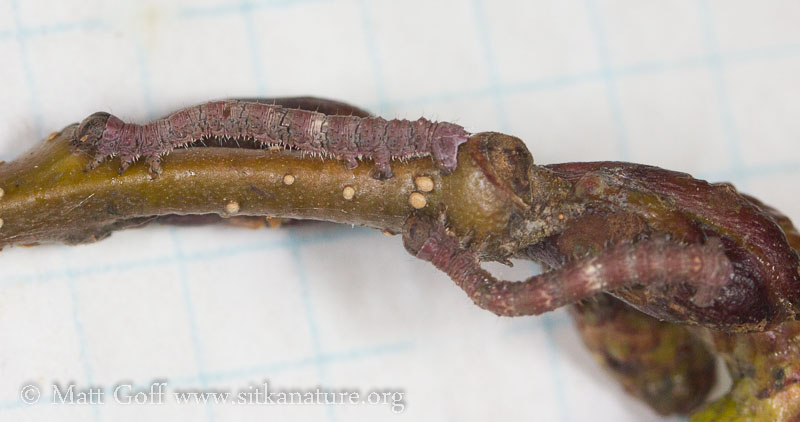Alder Caterpillars
