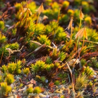 Polytrichastrum formosum with Sporophytes