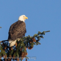 Leucistic Bald Eagle