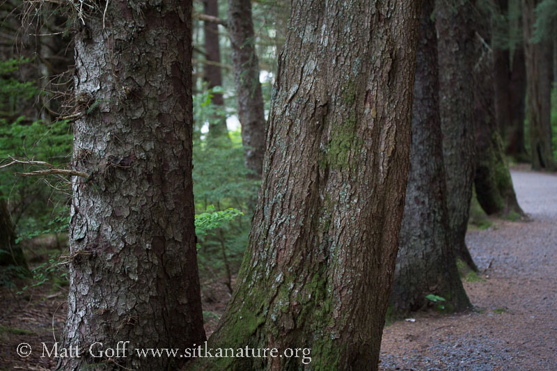 Conifer Trunks