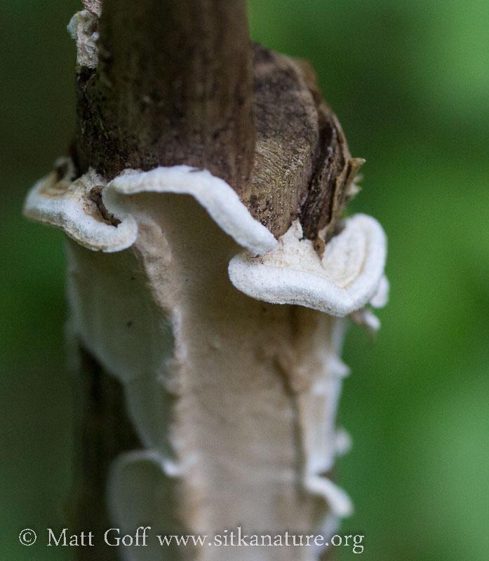 Fungus on Devil's Club