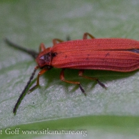 Red Net-winged Beetle (Dictyoptera simplicipes)