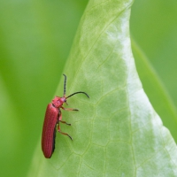 Red Net-winged Beetle (Punicealis hamata)
