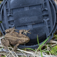 Boreal Toad (Anaxyrus boreas)