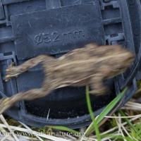 Boreal Toad (Anaxyrus boreas)