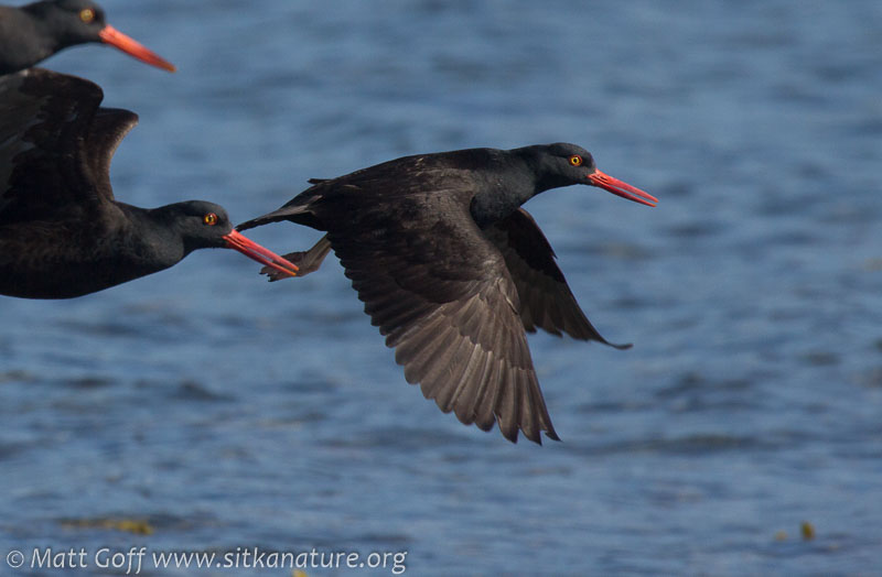 Black Oystercatchers in Flight
