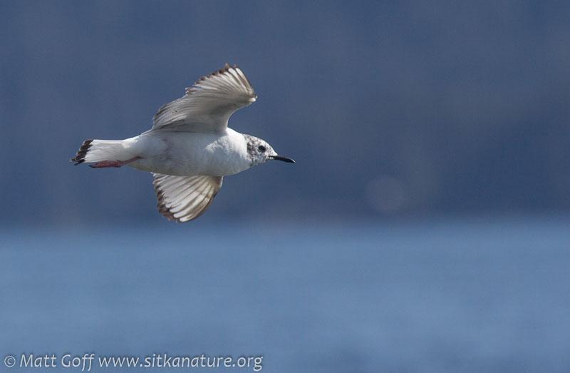 Immature Bonaparte's Gull in Flight
