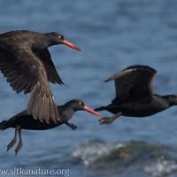 Black Oystercatchers in Flight