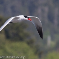 Caspian Tern in Flight