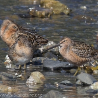 Dowitchers at Totem Park