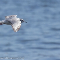 Immature Bonaparte's Gull in Flight