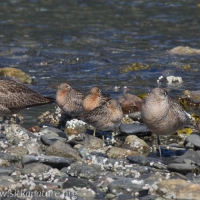 Resting Shorebirds