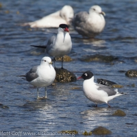 Tern and  Gulls