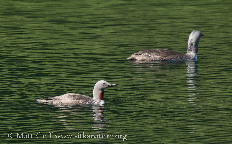 Red-throated Loons on Blue Lake