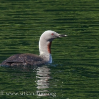 Red-throated Loon on Blue Lake
