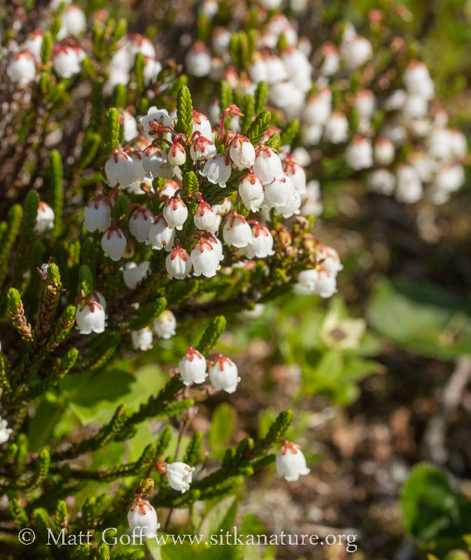 White Mountain Heather (Cassiope mertensiana)