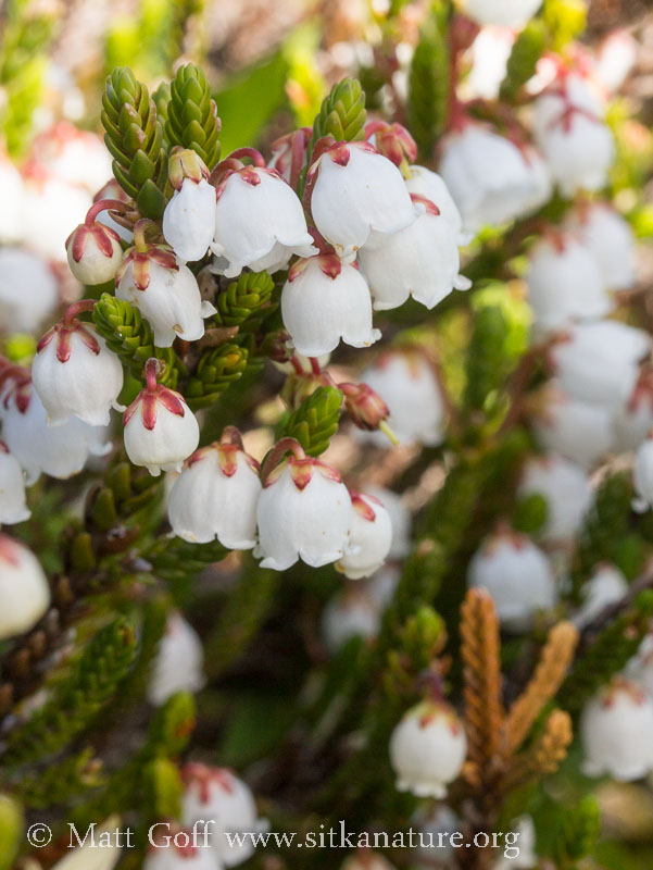 White Mountain Heather (Cassiope mertensiana)