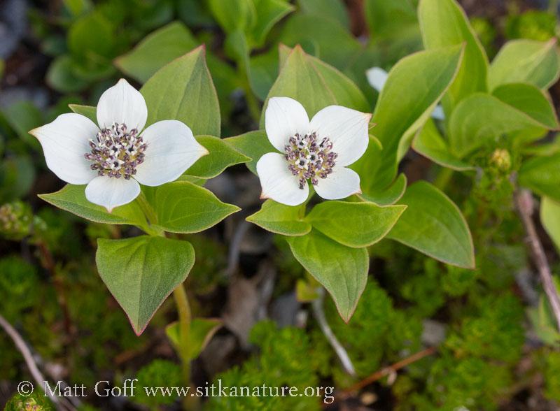 Ground Dogwood (Cornus unalaschkensis)