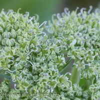 Sea Coast Angelica (Angelica lucida) Flowers