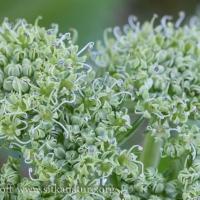 Sea Coast Angelica (Angelica lucida) Flowers