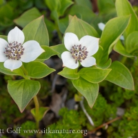 Ground Dogwood (Cornus unalaschkensis)
