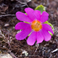 Wedge-leaf Primrose (Primula cuneifolia)