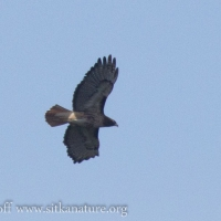 Soaring Red-tailed Hawk