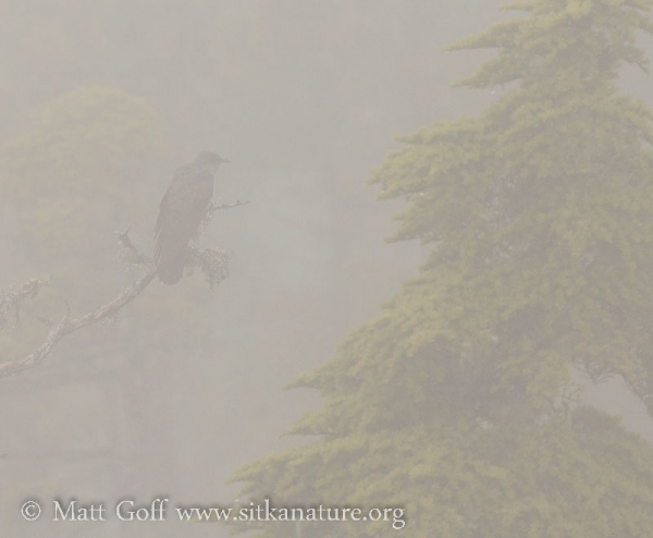 Misty Common Cuckoo