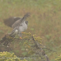 Common Cuckoo Taking off