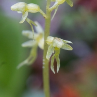 Blooming Heart-leaved Twayblade (Listera cordata)