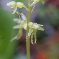 Blooming Heart-leaved Twayblade (Listera cordata)