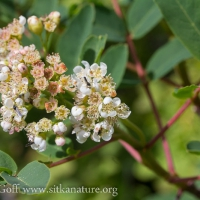 Blooming Sitka Mountain Ash (Sorbus sitchensis)