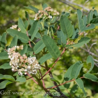 Blooming Sitka Mountain Ash (Sorbus sitchensis)