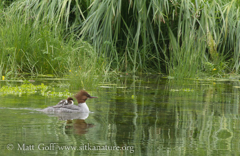 Common Merganser with Chick