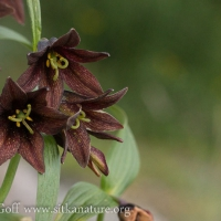 Northern Rice Root (Fritilaria camschatcensis)